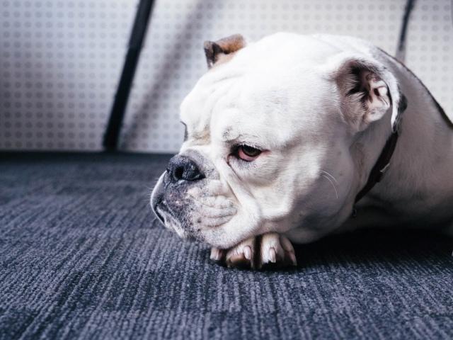 Соплі, нежить у собаки: причини і методи лікування вихованця