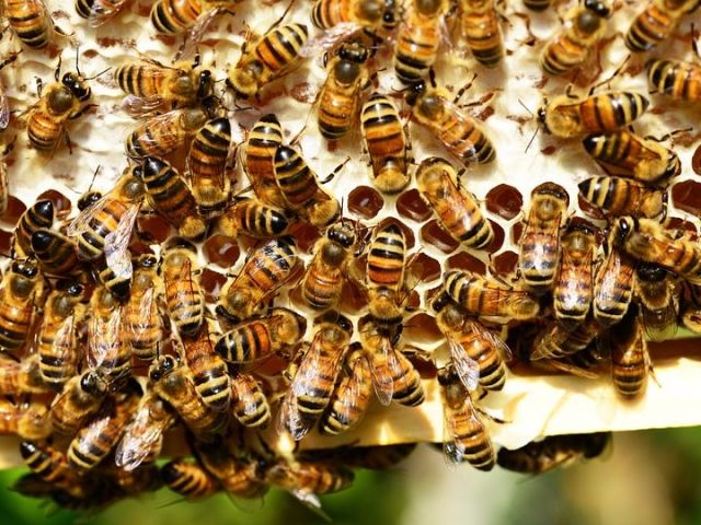 Як використовувати бджолиний підмор для суглобів? Мазь, настоянка, відвар з підмору для лікування суглобів