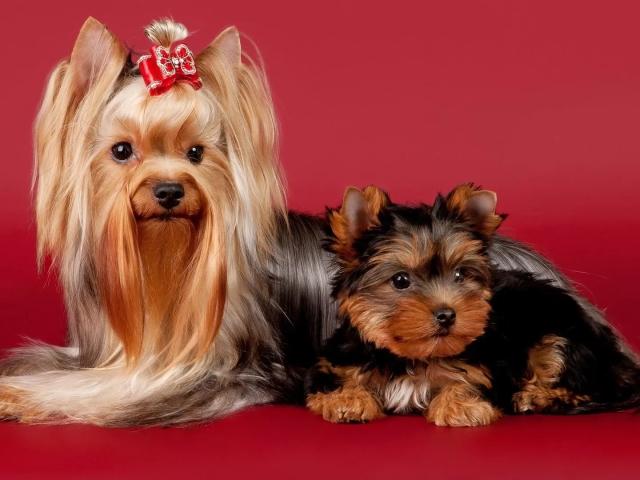 Скільки років в середньому живуть собаки дворняжки, китайські чубаті, чихуахуа, йоркширський тер'єр, алабаї, тієї тер'єр, джек рассел тер'єр, бельгійські грифони, пекінеси, вівчарки, шпиці в домашніх умовах? Які собаки живуть найдовше?