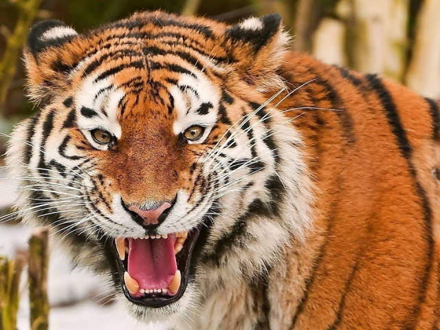 Сонник – бачити в сні тигра. До чого сниться побачити, тікати, годувати, гладити, грати, вбити маленького, величезного, домашнього, сплячого, лагідного, який кусає, ручного, мокрого, сердитого, білого, чорного, червоного, помаранчевого, блакитного, атакую