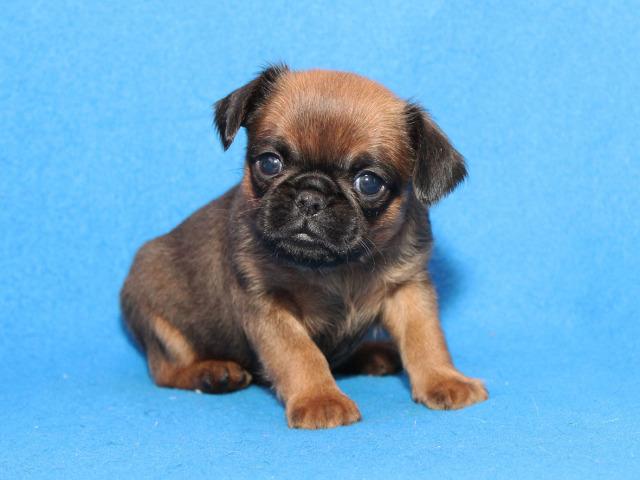 Порода собак пті-брабансон: виховання, характер, догляд, здоров'я, зміст. Гріффон пті-брабансон: фото дорослого собаки і цуценя, відгуки, мінуси, особливості породи