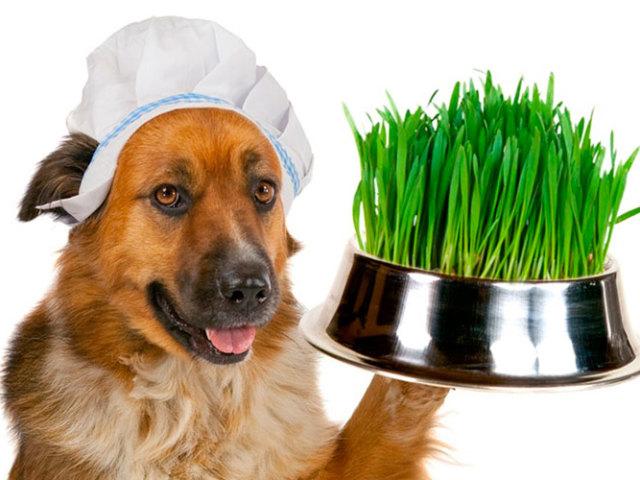 Собака їсть траву: причини явища і дії господаря при цьому
