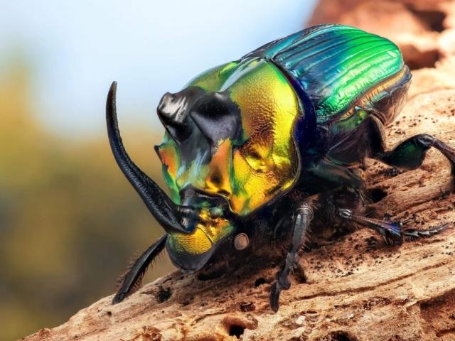 Сонник – бачити в сні жука: значення сну. До чого сниться бачити, збирати, вбивати, тиснути багато чи мало різних жуків чоловікові, жінці, вагітній: тлумачення сну