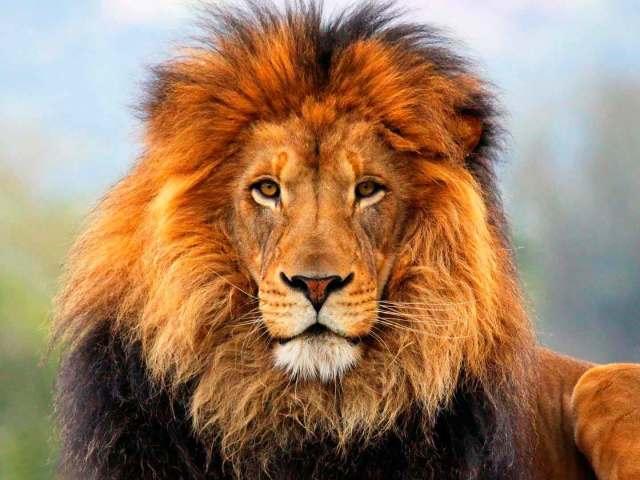 Сонник – бачити в сні лева: значення сну. До чого приснилося уві сні тримати в клітці, годувати, гладити, вбивати, тікати від лева, битися, грати, зустрітися з левом чоловікові, хлопцю, дівчині, жінці: тлумачення сну