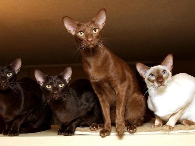 Гіпоалергенні породи кішок — список довгошерстих і короткошерстих порід: основні характеристики, фото