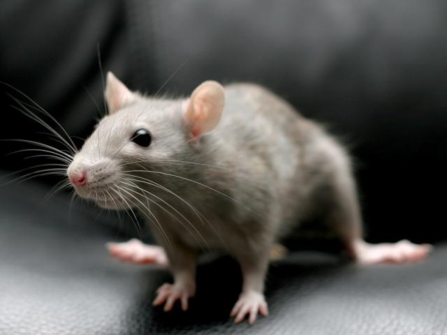 Сонник до чого сниться маленька, сіра, чорна і біла миша? До чого сниться багато маленьких мишей в квартирі?