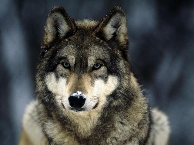 Сонник — вовк: до чого сниться уві сні чорний, білий, сірий вовк? До чого сняться вовки жінці, дівчині, чоловікові: тлумачення сну