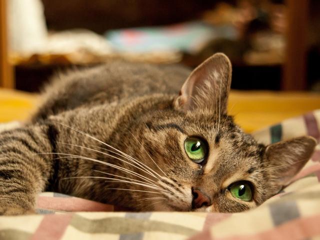 Поради ветеринара по утриманню, догляду та лікування кішок. Як доглядати, лікувати, годувати, купати, кішку? Як привчити кішку до нового будинку, когтеточке, будиночка?