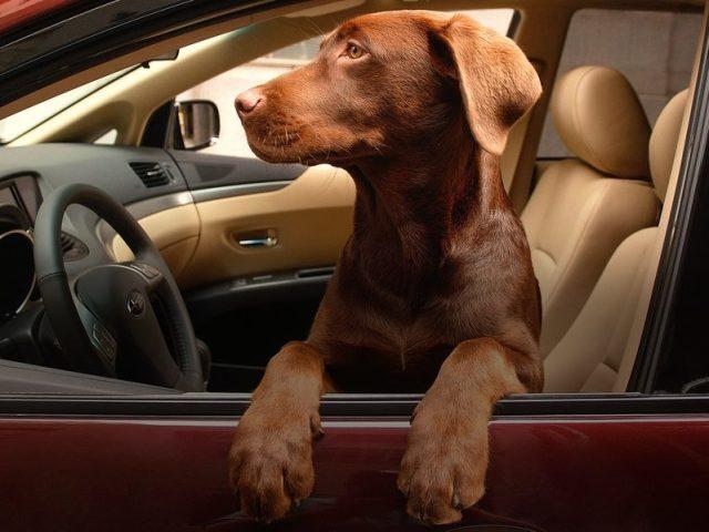 Тварини і автомобілі: добірка фото і відеоприків