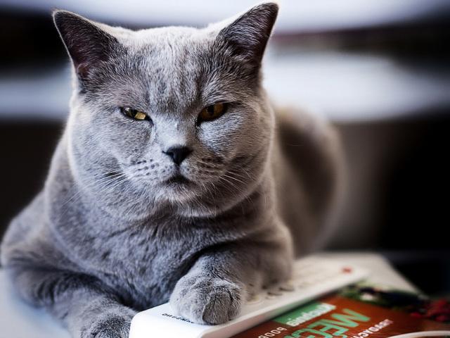 Артрит у кішок: причини, симптоми, лікування вихованця