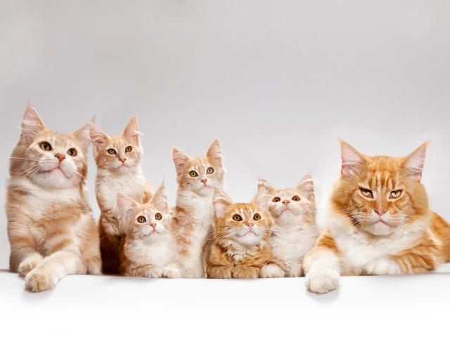 Кішка з'їла новонароджених кошенят: причини. Що робити, щоб кішка не з'їла новонароджених кошенят?