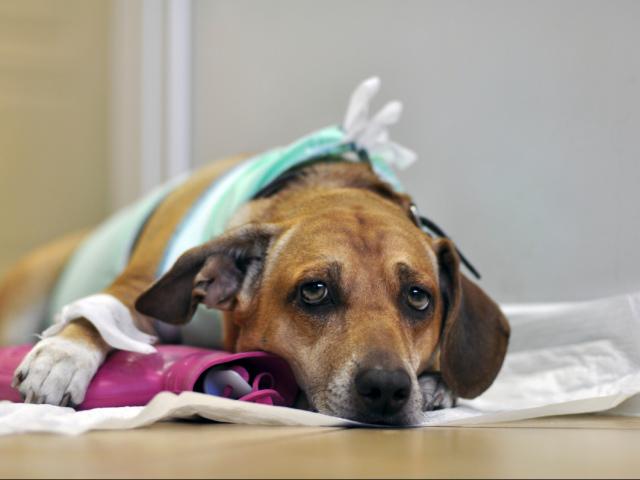 Мастит у собаки: причини, види, лікування, профілактика