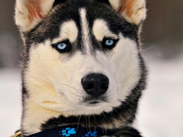 Собаки для вуличного змісту: список порід. Яку температуру витримують собаки взимку на вулиці?