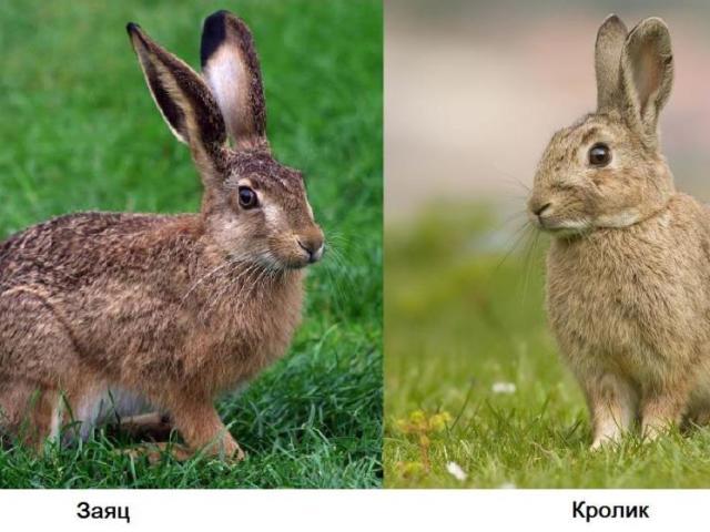 Чим відрізняється дикий і домашній кролик від зайця: порівняння, різниця, відмінність, пояснення для дітей. Хто більше розміром, швидше бігає: заєць чи кролик?