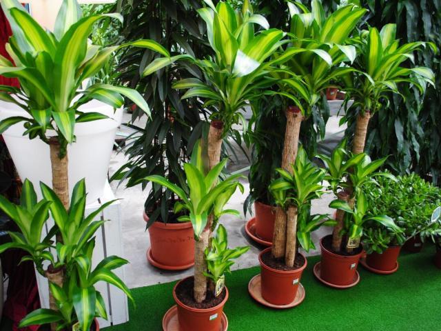 Енергетика кімнатних рослин для поліпшення енергетики людини і вдома. Кімнатні рослини з гарною, позитивною і поганий, негативною енергетикою: список