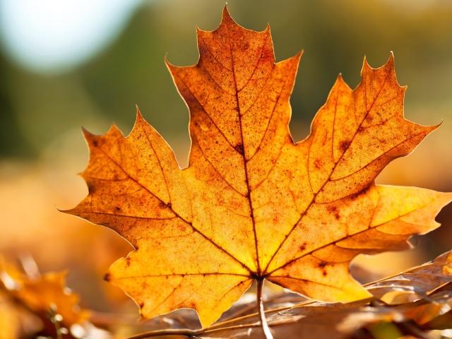Користь і шкода кленового листя. Лікування суглобів кленовим листям: рецепти