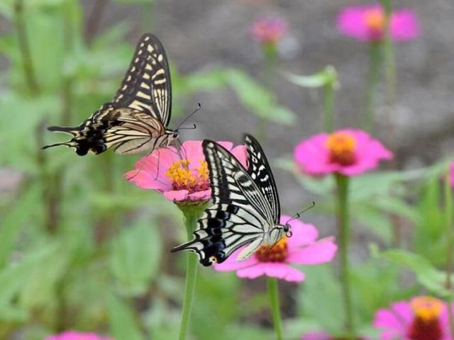 Квіти цинії: коли садити на розсаду, пікірувати, висаджувати в грунт? Вирощування з насіння цинії на вікні в домашніх умовах: терміни, посів, підживлення, полив, догляд, посадка в грунт