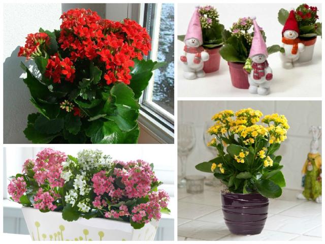 Каланхое квітучий — кімнатний квітка: як доглядати, обрізати, поливати в домашніх умовах? Каланхое – чи можна тримати вдома: значення квітки, прикмети і забобони