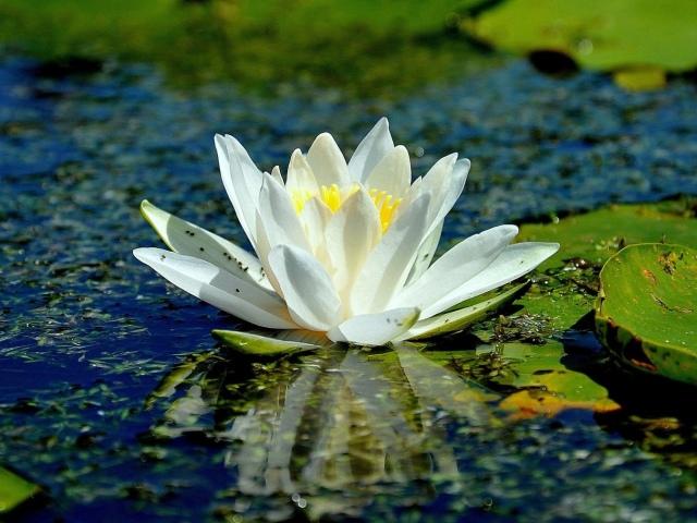 Яка квітка є національним символом Індії?