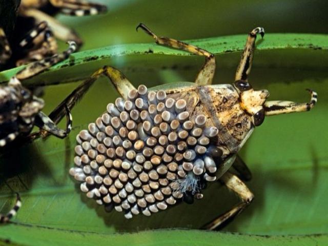 Смертельно небезпечна отруйна комаха, схожа на їжака: чи правда, що воно існує, як називається, опис, фото