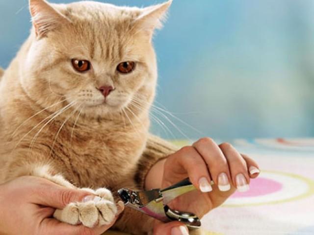 Скільки лап у кішки і як підстригти їх в домашніх умовах? Як правильно та якими ножицями підрізати нігті кішці, можна їх видалити?