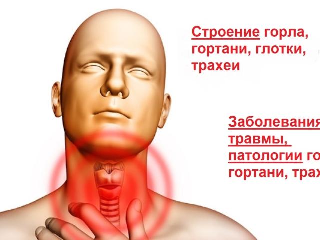 Будова горла і гортані людини — функції, анатомія, глотка, гортань, трахея: фото з описом, захворювання, патології, травми