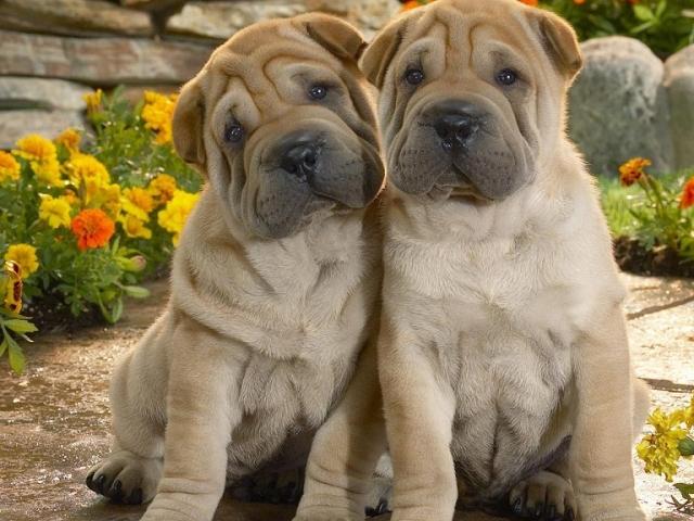 Як і чим правильно чистити вуха собаці: поради ветеринара, відео