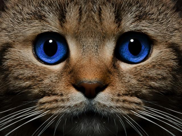Як визначити, порахувати вік кішки, кота за людськими мірками: розрахунок, таблиця віку кішок і людини. Скільки років живуть кішки, коти за людськими мірками? Як визначити біологічний вік кішки, кота? Кішки довгожителі: рекорди, породи