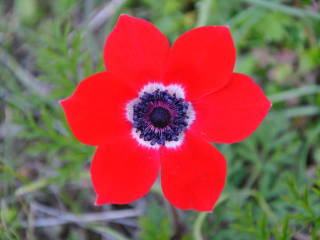 Квітка анемона: види, корисні і лікувальні властивості, протипоказання, застосування в медицині. Настоянка вітрогонки та її застосування: рецепти