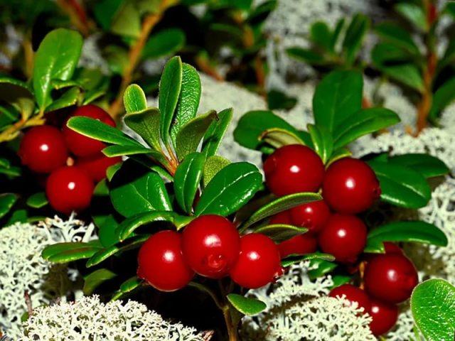 Листя і ягоди брусниці корисні і лікувальні властивості і протипоказання для жінок, чоловіків, дітей. Застосування брусниці в народній медицині як сечогінний засіб, для лікування нирок, при циститі, тиску, простуді: рецепти