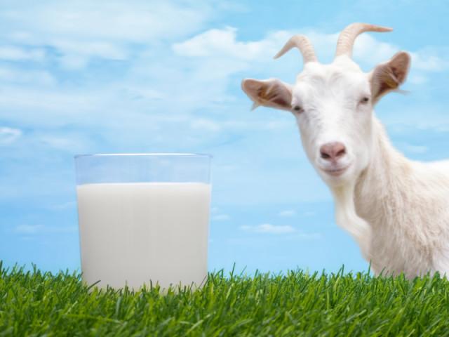 Козяче молоко дітям. Шкода і користь козячого молока для дітей. Чи можна годувати дітей козячим молоком?