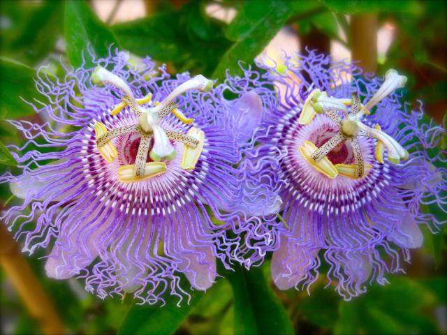 Квітка — пасифлора кімнатна: сорти, догляд, вирощування з насіння і живцями. Що таке пасифлора, як виглядає: прикмети і забобони, фото
