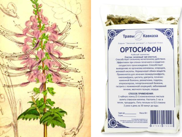 Ортосифон тичинковий: показання до застосування, властивості, протипоказання. Ортосифон тичинковий — нирковий чай: відгуки, інструкція по застосуванню