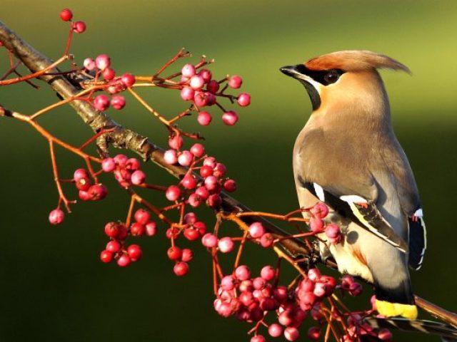 Птахи з чубчиком на голові: назви, опис, фото. Що за птахи з чубком клюють горобину?