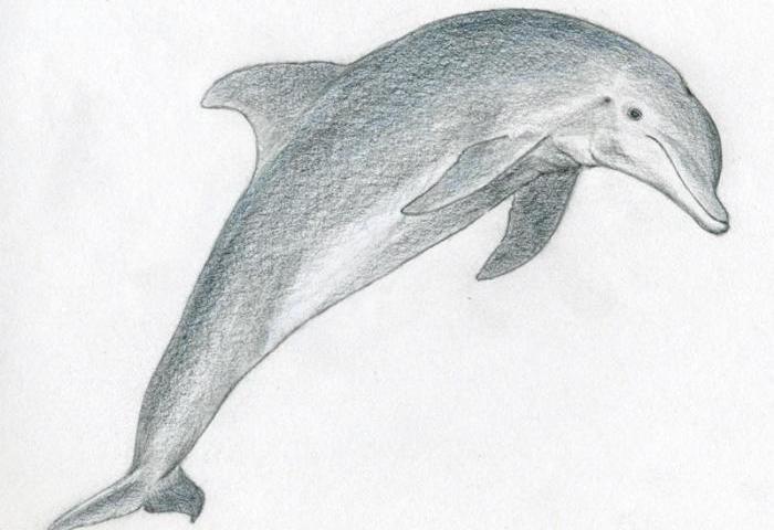 Як намалювати дельфіна поетапно олівцем? Як намалювати дельфіна в море: малюнки для дітей