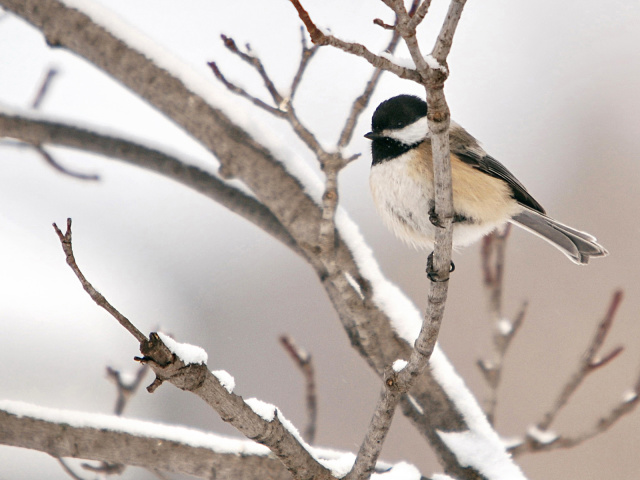 Осілі, зимуючі і перелітні птахи: список, фото з назвами. Чим перелітні птахи відрізняються від зимуючих: презентація для дошкільнят. В'ють гнізда чи перелітні птахи на півдні? Які птахи навесні першими і останніми прилітають, а восени відлітають?