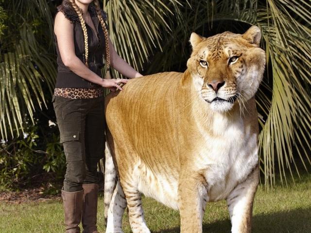 Суміш, гібрид тигра і лева: як називається, як виглядає? Хто такий лігр і тигролев? Тигролев і лігр: в чому відмінності?