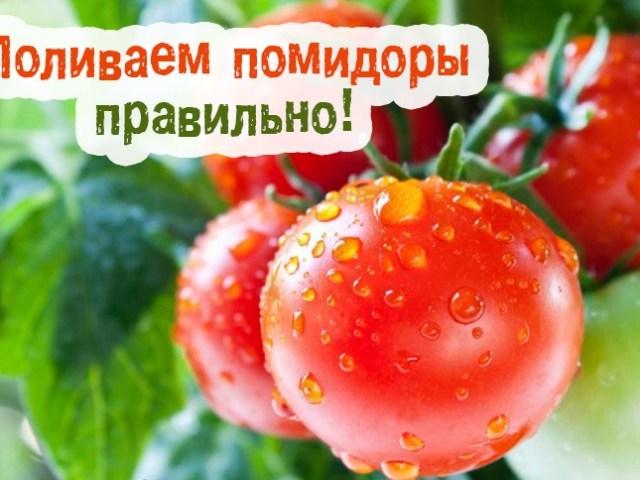 Як часто, скільки разів на тиждень поливати помідори в теплиці при різних стадіях росту?