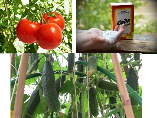 Харчова сода для підгодівлі і обприскування огірків, томатів в городі: поради дачникам. Чим корисна харчова сода для огірків і помідорів і для чого вона їм потрібна? Як правильно обприскувати і поливати огірки і помідори харчовою содою?