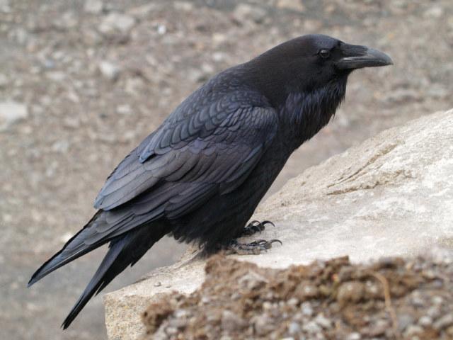 Ворона на даху, у дворі: прикмети — що означає побачити багато ворон? Ворона сіла на машину, вікно, балкон: прикмети