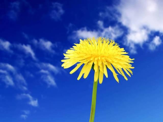 Якщо вдень суцвіття кульбаби закрилися: прикмети і наукове трактування