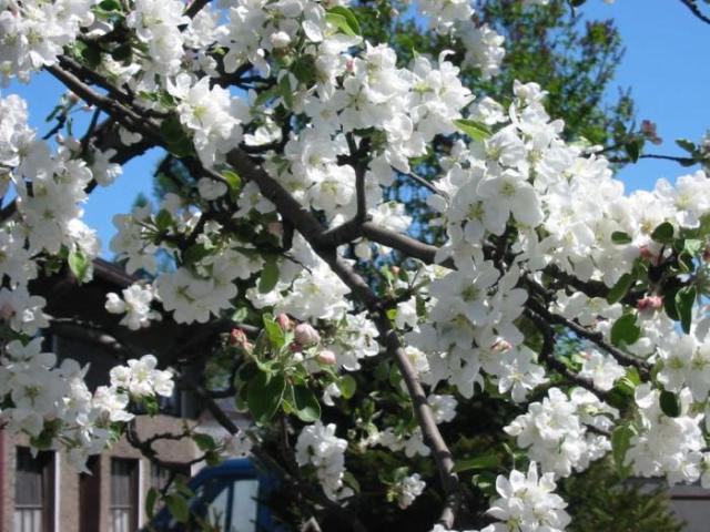 До чого цвіте яблуня і груша в серпні: народні прикмети. До чого цвітуть сади в кінці літа, восени: причини