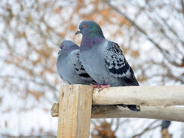 Прикмети і забобони про птицю голуб на вулиці: опис. Прикмета, якщо чути, як воркують голуби на даху будинку, на дереві, під вікном, бачити пару голубів, як голуби цілуються на вулиці, спаровуються, як голуб перетинає дорогу, врізався в людини: описа