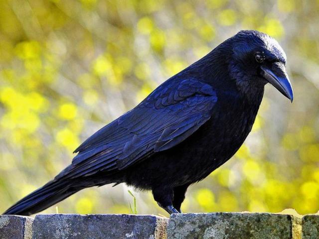 Сонник — бачити в сні ворону. До чого сниться годувати, побачити, вбити ворону чорну, білу, велику, залетілу в будинок, каркающую, напасників, ручну, спокійну, мертву, яка говорить, що летить, чоловікові, жінці: тлумачення сну