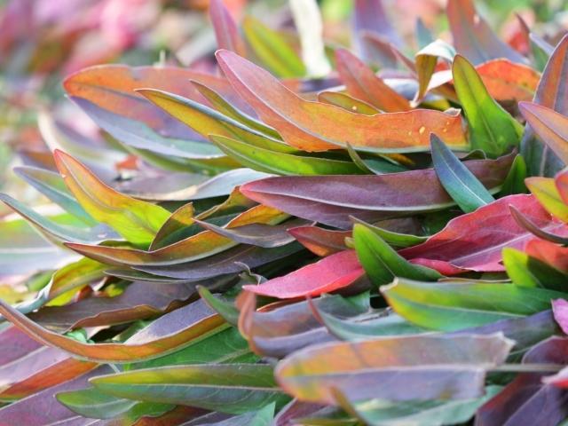 Щавель: вітаміни, користь і шкоду, посадка, вирощування і догляд у відкритому грунті. Коли краще сіяти насінням щавель: навесні чи восени?