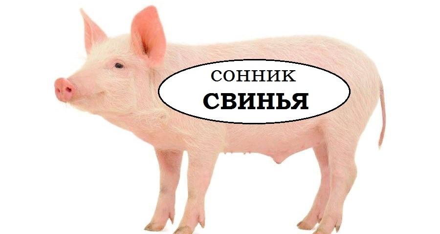 Сонник — бачити в сні свиню: значення сну. До чого сняться брудні свині, чисті, живі, мертві, в сараї, чужі, голодні, ситі, рожеві, білі, чорні, коричневі, руді, хворі, у крові, без голови. Свиня: тлумачення сну для чоловіків і жінок