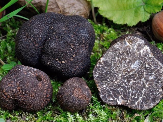 Гриб трюфель: види, опис, характеристика, фото. Як виглядають гриби трюфелі, де ростуть, як їх шукають? Гриб трюфель: користь і шкода