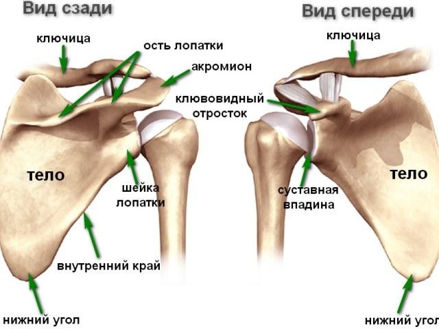 Плечовий суглоб: будова, анатомія. Плечовий суглоб: м'язи, зв'язки, кістки
