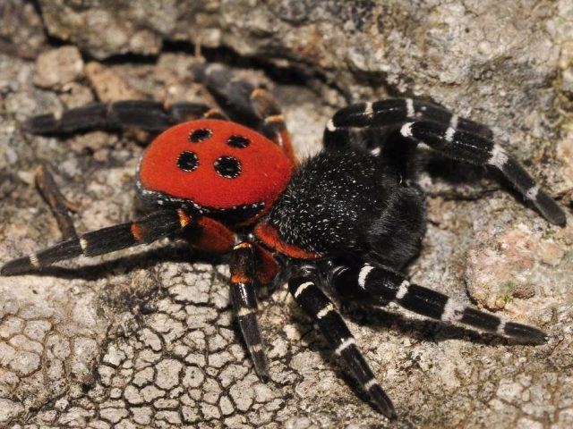 Найбільш небезпечні павуки у світі — список комах, як виглядають. Смертельно небезпечні для людини павуки — які наслідки загрожують людині, вкушеного отруйним павуком? Найнебезпечніші павукоподібні — цікаві факти, відео