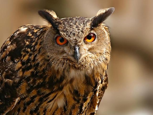Чим сова відрізняється від філіна, сича: порівняння, різниця, фотографії. Чому сови, сичі та пугачі полюють лише вночі?
